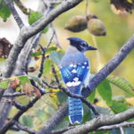 Butternut-BlueJay