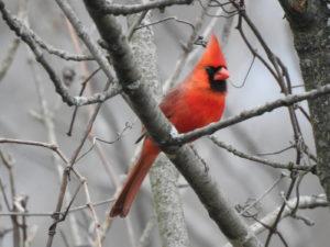 Cardinal-jan22-17