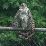 Coopers-Hawk-II-7-14-16