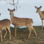 Deer-northwestern
