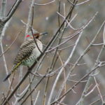 Northern Flicker-Apr-2015