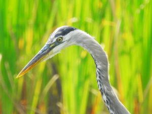 Heron-head