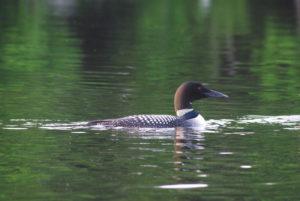 Loon Grass Lake