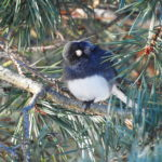 Junco in pine