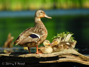 Mallard and her babies