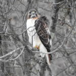 Red-Tail-dec-20-17