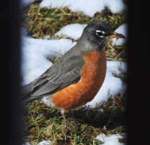 Robin-feb2017