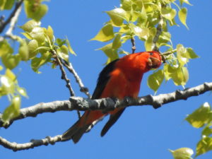 Scarlet Tanager Tilted