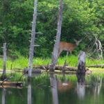 Deer-feeding-Rayhill