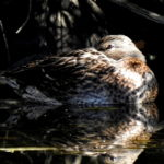 Female -Mallard-oct21-17