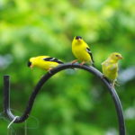 Gold-finches-02