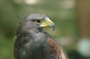 Harris Hawk 2