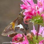 Moth- pink flower
