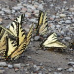Swallowtails-many