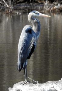 Blue-Heron-5-2-18