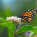 Monarch-072918-forestportRes