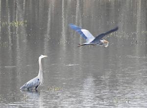 Two blue herons