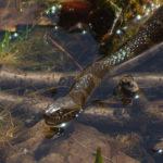 Black Water Snake