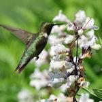 Hummingbird at Root Glen