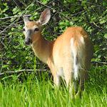 Whitetale deer having breakfast on The Rayhill Trail