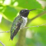 Hummingbird tongue out