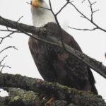 Bald Eagle Dec 31, 2019