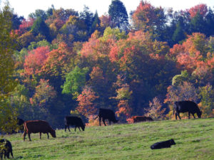 Autumn Scene - Black Angus