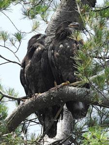 Juvenile Bald Eagles
