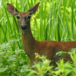 Whitetail Fawn - adolescent